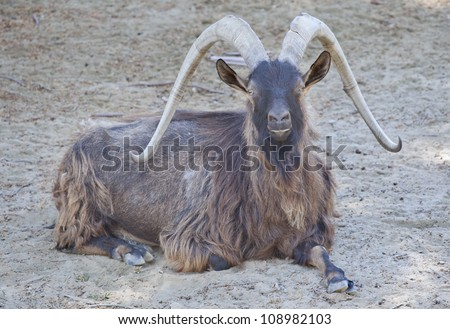 mountain goat, izmir zoo - stock photo