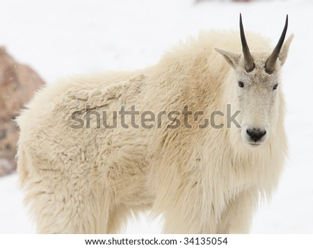 mountain goat looking at camera - stock photo