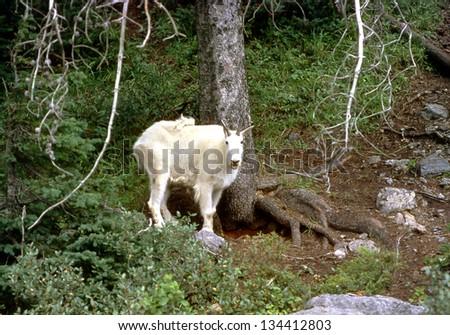 Mountain goat (Oreamnos americanus), also known as the Rocky Mountain goat, of Kootenay National Park, British Columbia, Canada - stock photo