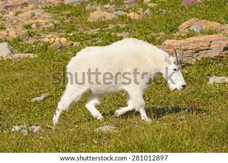 Mountain Goat Walking Across an Alpine Meadow near Logan Pass in Glacier National Park in Montana - stock photo