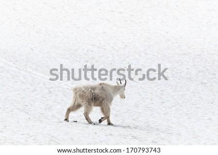 Mountain goat walking away on the snow - stock photo