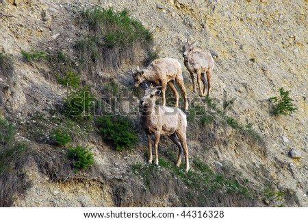 Mountain goats climbing on cliff at radium hot springs, british columbia, canada - stock photo