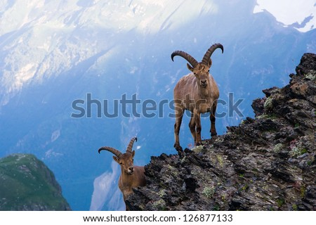Mountain goats in the Western Caucasus - stock photo