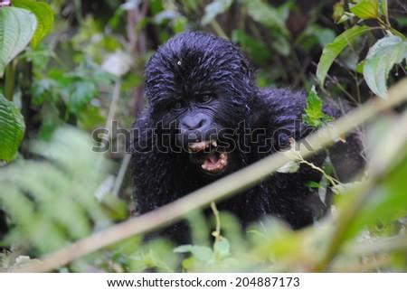 mountain gorilla baby, Bwindi, Uganda, - stock photo