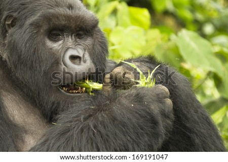 Mountain gorillas, Gorilla gorilla beringei,  ENDANGERED, silverback, eating thistle, Kwitonda group, Volcanoes National Park, Rwanda - stock photo
