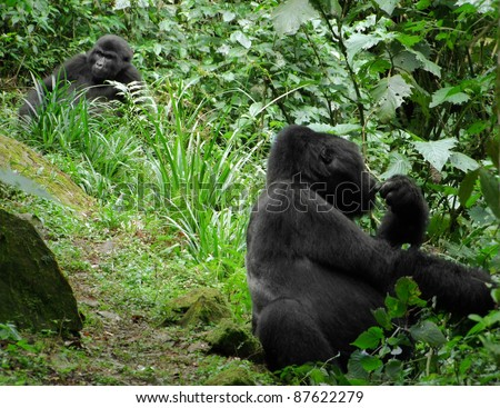 Mountain Gorillas in the cloud forest of Uganda (Africa) - stock photo