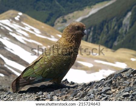 Mountain kea parrot, New Zealand - stock photo