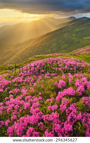 Mountain landscape with a beautiful sunset. The sun hidden behind clouds. Glade of blossoming rhododendrons. Beautiful pink flowers. Carpathian Mountains, Ukraine - stock photo