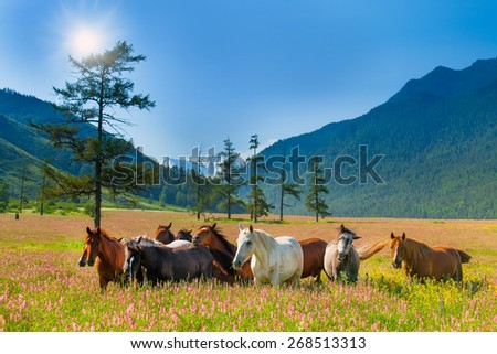 Mountain landscape with grazing herds of horses on a flowering meadow - stock photo