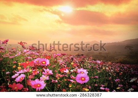 Mountain landscape with Magic pink Cosmos flowers in blooming with sunset background. - stock photo