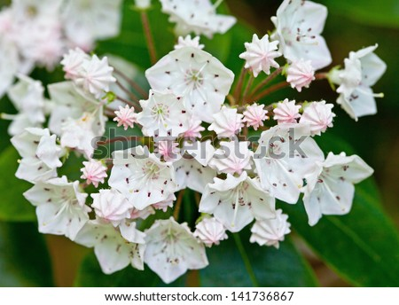 Mountain Laurel (Kalmia latifolia) - stock photo