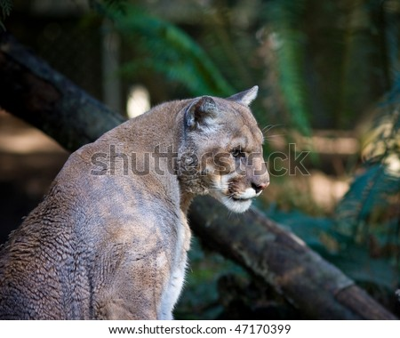 Mountain lion - stock photo
