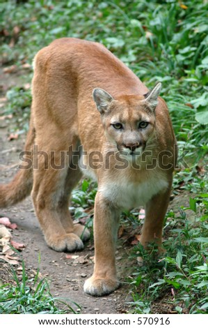 Mountain Lion along a trail - stock photo