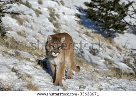 Mountain Lion in Natural Setting in Rocky Mountains - stock photo