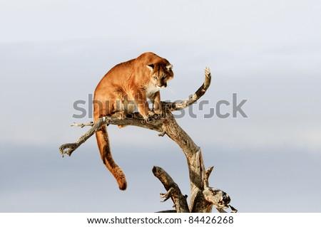 Mountain Lion in Tree - stock photo
