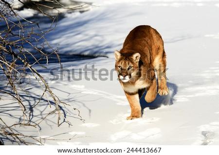 Mountain Lion in winter - stock photo