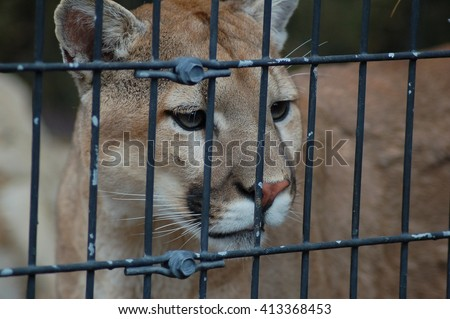 Mountain Lion in zoo cage - stock photo