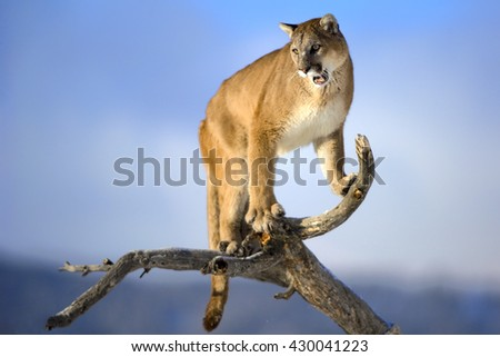 Mountain lion is standing on dead. The background is sky. It is blue and blur. The photo had been taken in North of USA. It is the daytime. wood and roaring.  - stock photo