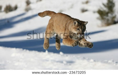 Mountain Lion Jumping - stock photo