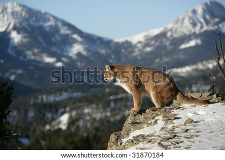 Mountain Lion Looking over Vally - stock photo