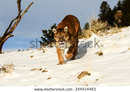Mountain Lion on snowy hill - stock photo