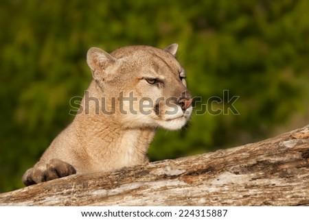 Mountain Lion Peering Over a Log - stock photo
