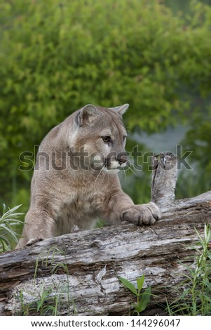 Mountain Lion Portrait - stock photo