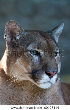 Mountain lion - puma - cougar portrait. - stock photo