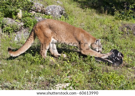 Mountain lion scratches at dead log in alpine meadow surrounded by rocks. - stock photo