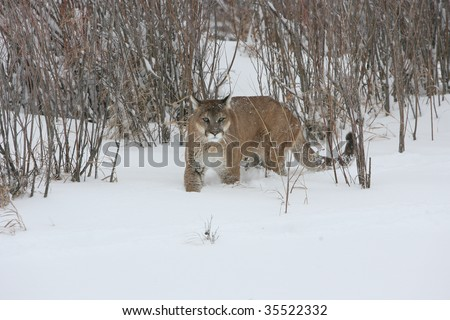 Mountain Lion Stalking Prey during Snow Storm - stock photo