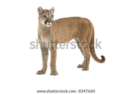 Mountain lion standing upright, isolated on a white background. - stock photo