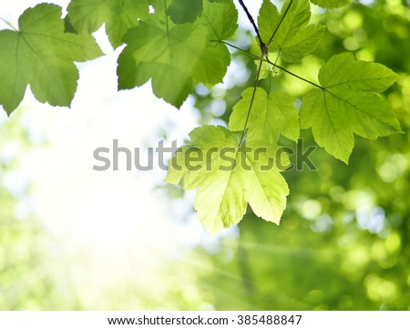Mountain maple leaves and copy space. Selective focus on the foreground, nature background with foliage  and sun in springtime. Fresh tree leaves, nature frame.  - stock photo