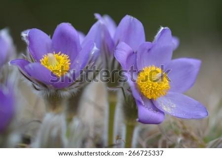 Mountain Pasqueflower (Pulsatilla montana) - stock photo