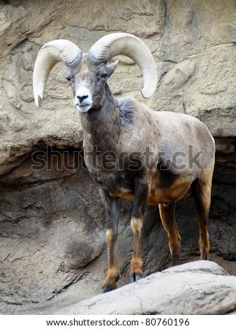 Mountain Ram - stock photo