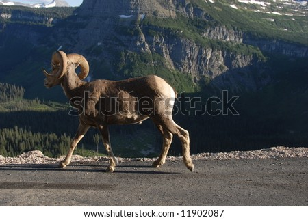Mountain Sheep - stock photo