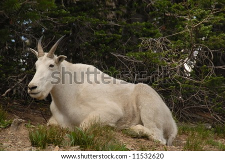 Mountain sheep sitting - stock photo