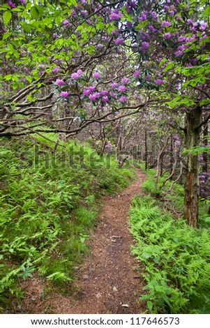 Mountain Trail with Green Ferns & Blooming Catawba Rhododendron in Western North Carolina - stock photo