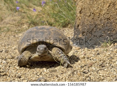 Mountain turtle in natural environment - stock photo