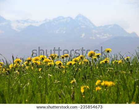 mountain wendelstein and dandelion meadow, focus is on the dandelions - stock photo