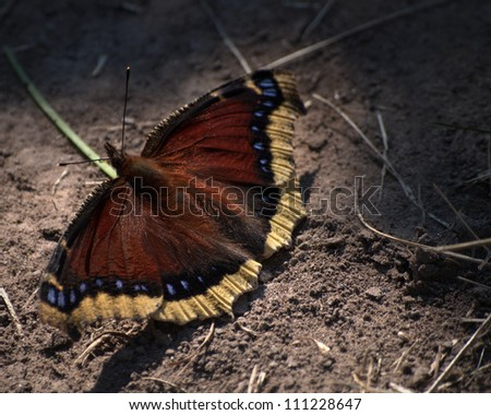 Mourning Cloak Butterfly (Nymphalis antiopa) enjoying the morning sun.  Though this is the state butterfly of Montana, it is also found in Northern Europe, Asia and Canada. - stock photo