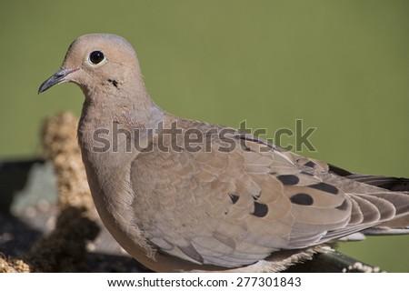 Mourning Dove Close Up - stock photo