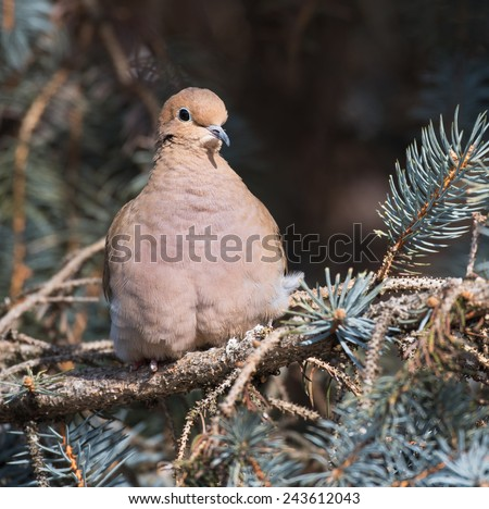 Mourning Dove in Winter - stock photo