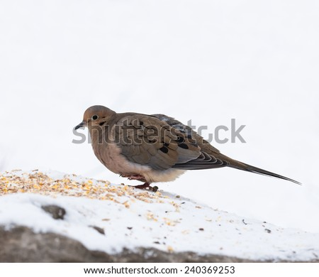 Mourning Dove in winter on white background, Isolated - stock photo