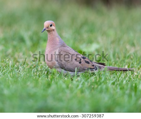 Mourning Dove on green grass - stock photo