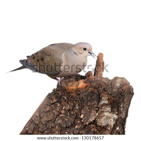 Mourning Dove (zenaida macroura)  eats - stock photo