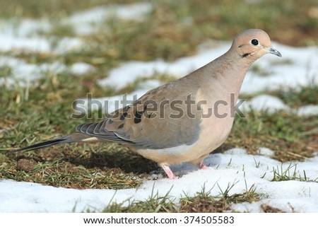 Mourning Dove (Zenaida macroura) in snow  in winter - stock photo