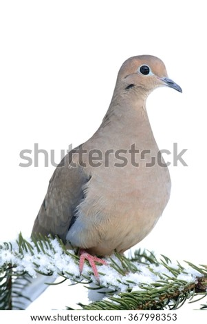 Mourning Dove (Zenaida macroura) on a tree branch with snow  in winter - stock photo