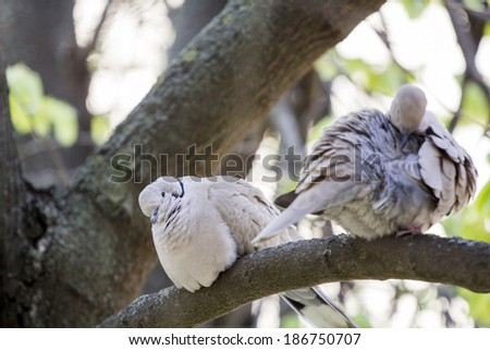 Mourning Doves (Zenaida macroura) on a linden tree branch - stock photo