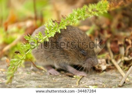 Mouse hiding under yarrow leaf - stock photo