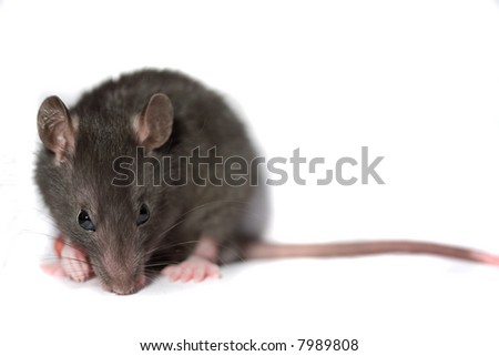 Mouse Isolated - stock photo